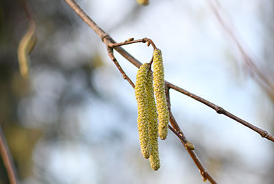 Za miastem uważaj na pyłki leszczyny