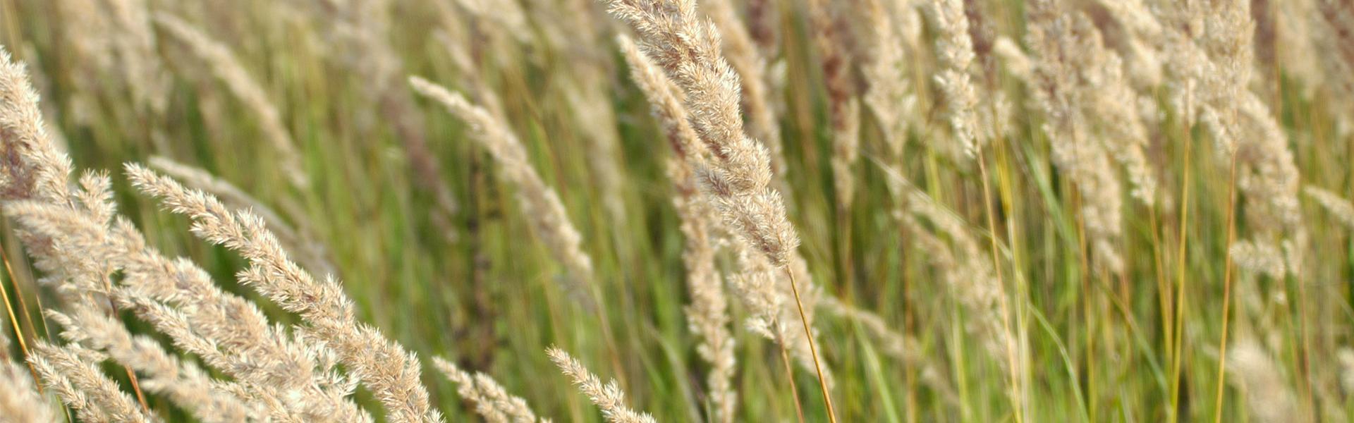 7+ faktów o pyłku traw, które musisz poznać