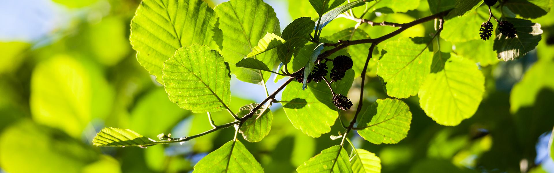 Wszystko, co musisz wiedzieć o alergii na pyłki olszy