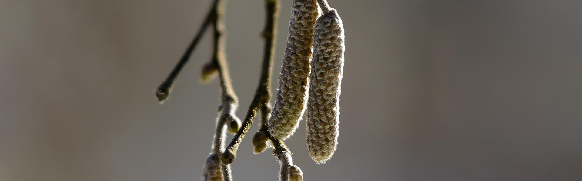 Alergia pyłkowa, czyli 7 gatunków uczulających drzew