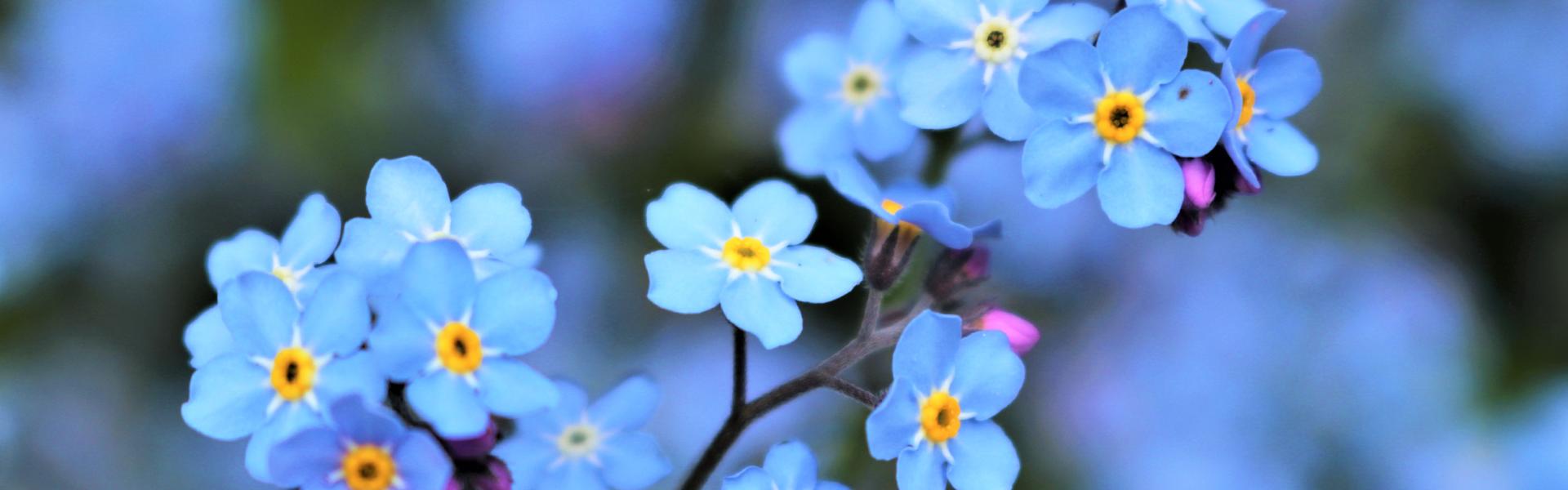 Czy alergicy powinni zapomnieć o niezapominajkach?